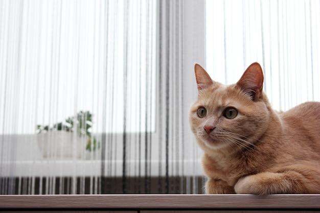 Na stoliku przy oknie leży rudy kot. włóż zasłony i rośliny domowe we wnętrzu. alergeny w domu.