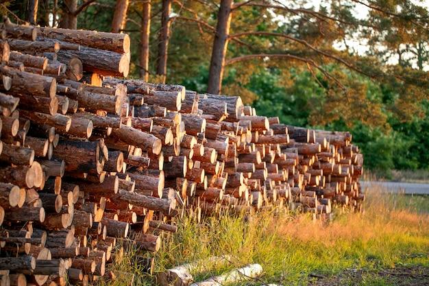 Na stosie leżą kłody drewna wydobyte z sosnowego lasu