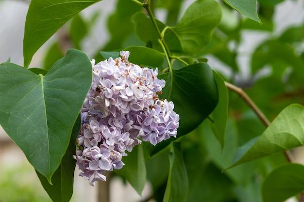 Na stronie rozkwitła piękne zbliżenie liliowego bukietu syringa vulgaris