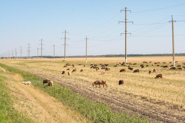 Na suchym stepie na tle linii energetycznych pasie się stado owiec