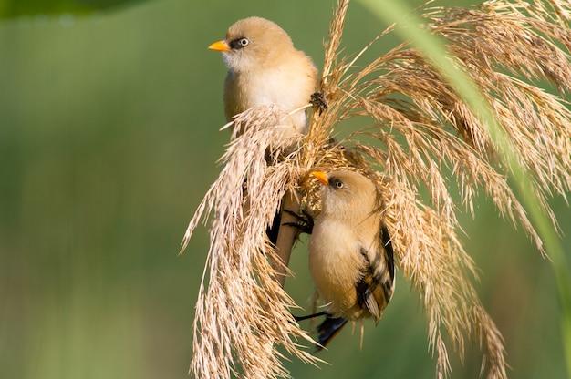 Na szczycie trzciny siedzą dwa młode brodate samce trzciny