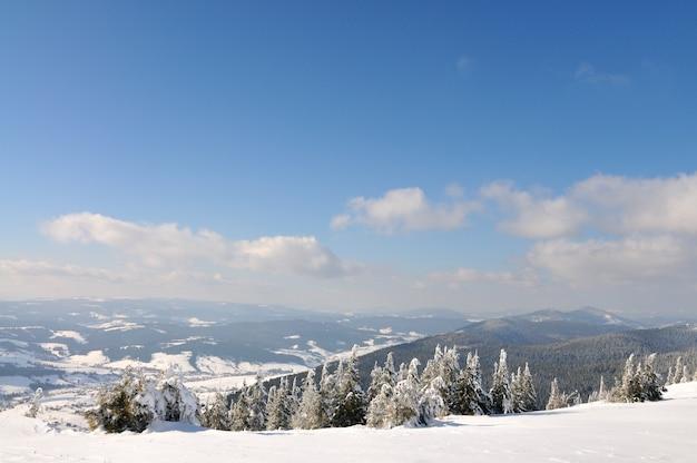 Na tle błękitnego nieba piękne zaśnieżone stoki z jodłami pokrytymi śniegiem