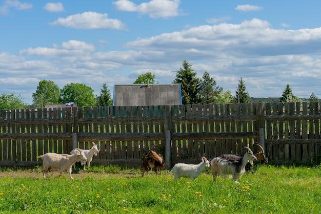 Na trawie pasą się kozy. letni zwierzak na farmie.