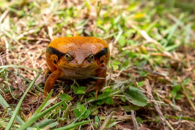 Na trawie siedzi duża pomarańczowa żaba