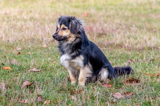Na trawie w ogrodzie jesienią siedzi mały pies