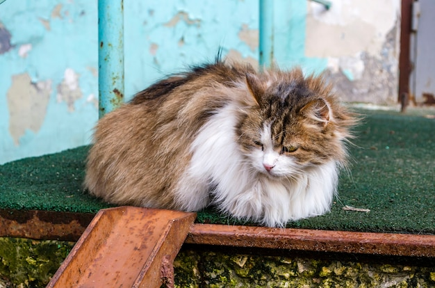 Na ulicy leży bezdomny puszysty wielokolorowy kot z chorymi oczami