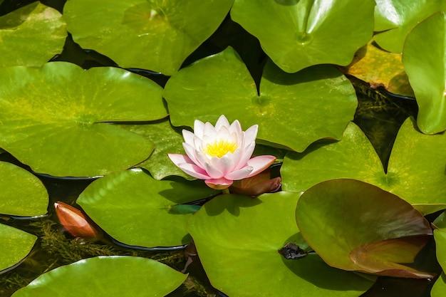 Na wodzie obok żaby siedzi biała lilia wodna. biała lilia wodna.podróż do gruzji