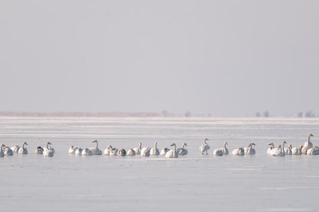Na zamarzniętym jeziorze odpoczywają dzikie łabędzie. selektywna ostrość.