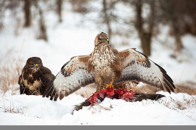 Na zaśnieżonej leśnej polanie zimą dwa myszołowy z martwą ofiarą