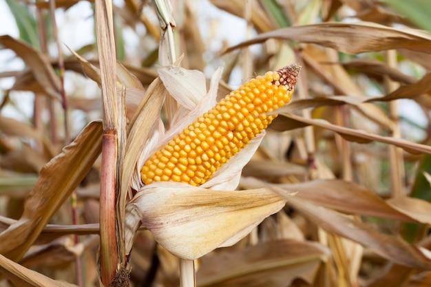 Na zdjęciu dojrzała kukurydza żółta, rosnąca na terenie pola uprawnego. zbliżenie. mała głębia ostrości