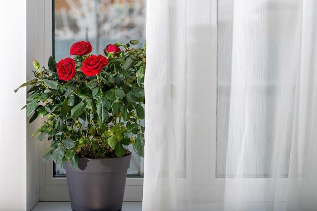 Na zewnątrz jest zima, a na parapecie są róże w doniczkach.