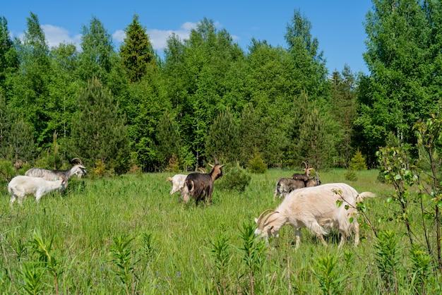 Na zielonej łące pasą się kozy. zwierzęta w gospodarstwie.