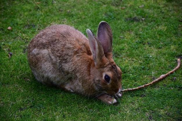 Na zielonej letniej trawie siedzi duży zając ze stojącymi długimi uszami