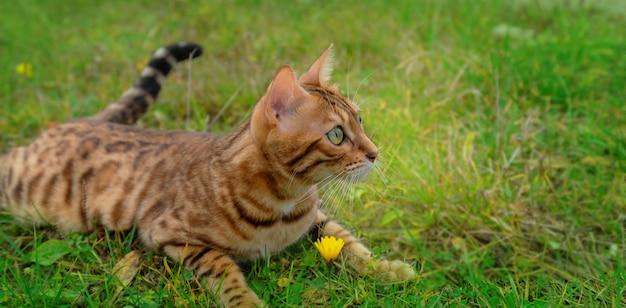 Na zielonej trawie leży uroczy bengalski kot domowy.