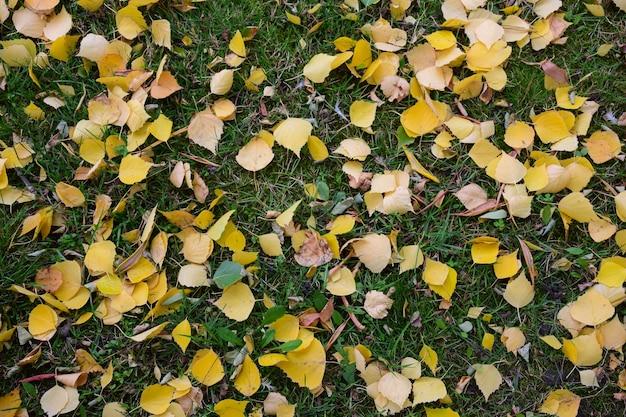 Na zielonej trawie na całym tle rozrzuconych jest wiele żółtych małych jesiennych liści.