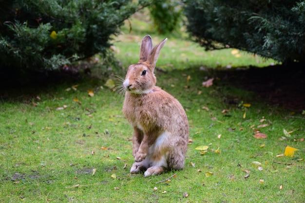 Na zielonej trawie siedzi duży zając lub królik