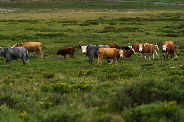Na zielonym trawniku pasie się stado krów i półjaków. rolnictwo i hodowla bydła