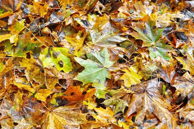 Na ziemi leżą opadłe mokre, żółte liście klonu.