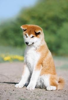 Na ziemi siedzi rudy, puszysty szczeniak rasy akita inu. kochany pies