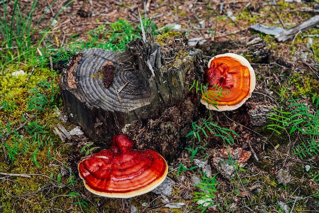 Na złamanym drzewie rosną dwa duże czerwone polipy. żywy czerwony grzyb krzesiwo na zbliżenie pnia drzewa. fomitopsis pinicola na korze wśród roślin zielonych w lesie. małe błędy na dużym polyporze. owad na grzybie.