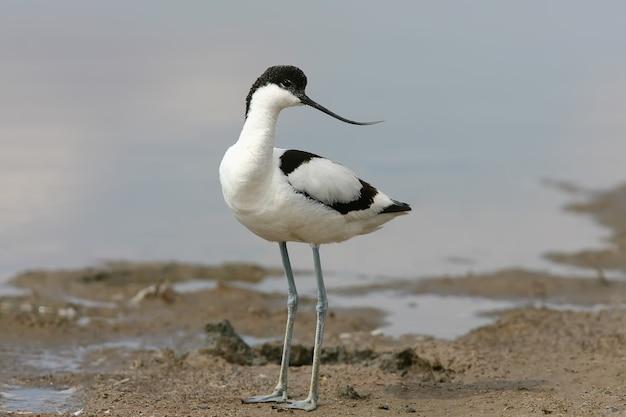Nad brzegiem jeziora stoi młody awocet srokaty (recurvirostra avosetta)