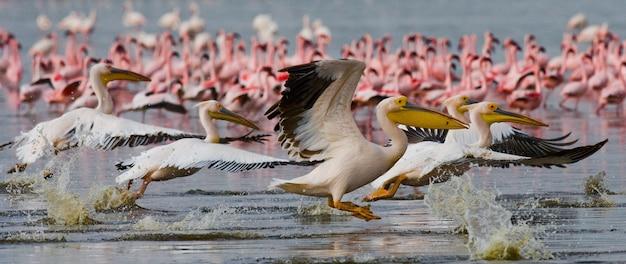 Nad jeziorem przelatuje stado pelikanów. jezioro nakuru.