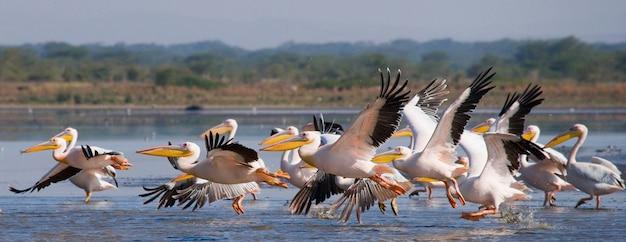 Nad jeziorem przelatuje stado pelikanów.