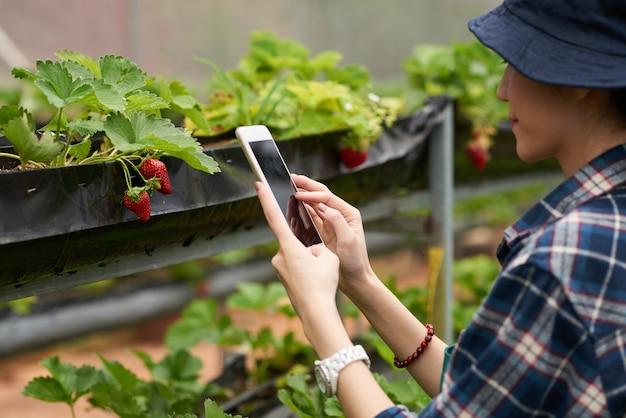 Nad ramieniem ujęcie ogrodniczki robiącej zdjęcie dojrzałej truskawki