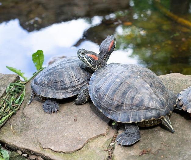 Nad wodą odpoczywają dwa zakochane żółwie. natura, żółw morski. zwierząt
