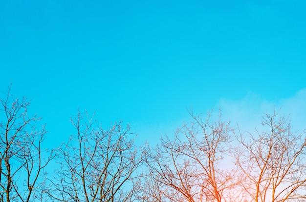 Nadzy drzewa i niebieskiego nieba tło. zdjęcie nagich drzew wiosną lub zimą. ekologiczny