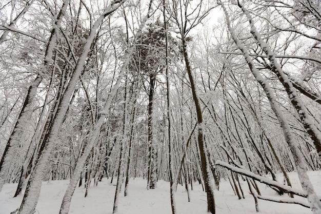 Nagie drzewa liściaste na śniegu zimą, piękna zimowa przyroda po opadach śniegu i mrozie, drzewa liściaste różnych ras po opadach śniegu