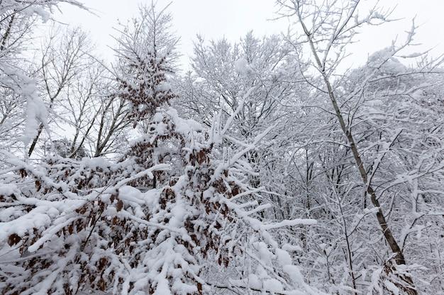 Nagie drzewa pokryte śniegiem