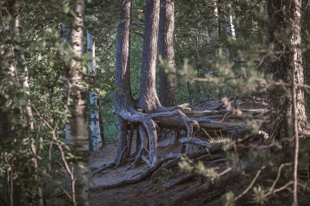 Nagie korzenie drzew w lesie