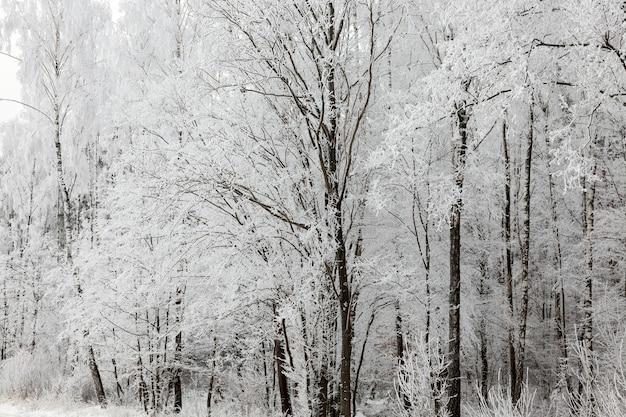 Nagie pnie drzew liściastych w okresie zimowym. cienkie gałęzie drzewa pokryte są grubą warstwą białego szronu po nocnych przymrozkach. zdjęcie z bliska