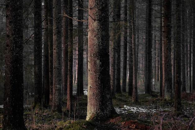 Nagie wysokie drzewa ciemnego lasu