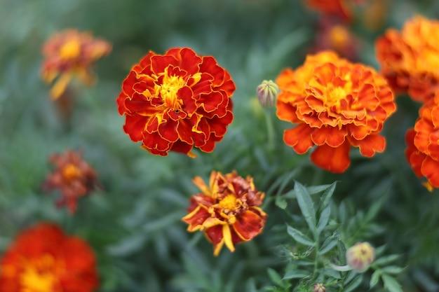Nagietek ciemnoczerwone kwiaty z bliska