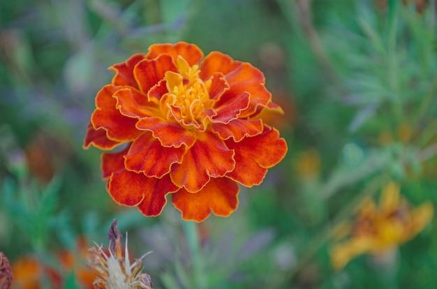 Nagietek francuski bordo i pomarańczowe dwukolorowe kwiaty. głęboko czerwone nagietki z pozłacanymi krawędziami.