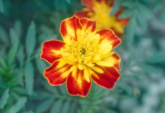 Nagietek francuski bordo i pomarańczowe dwukolorowe kwiaty.