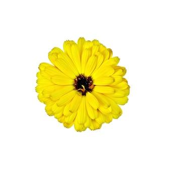 Nagietek żółty frotte z ciemnym sercem na białym tle