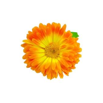Nagietek żółty i pomarańczowy frotte z zielonym liściem na białym tle
