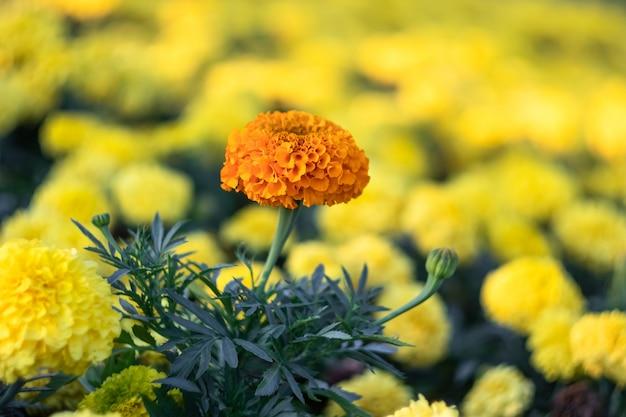 Nagietki, faktura kwiatowa, nagietek meksykański. pole jasnożółtych kwiatów.