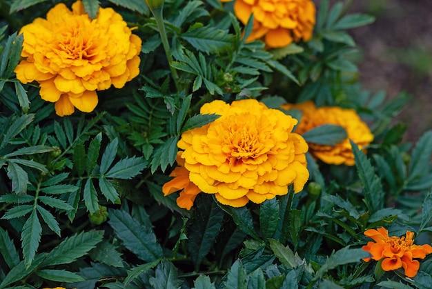 Nagietki pomarańczowe kwiaty w ogrodzie