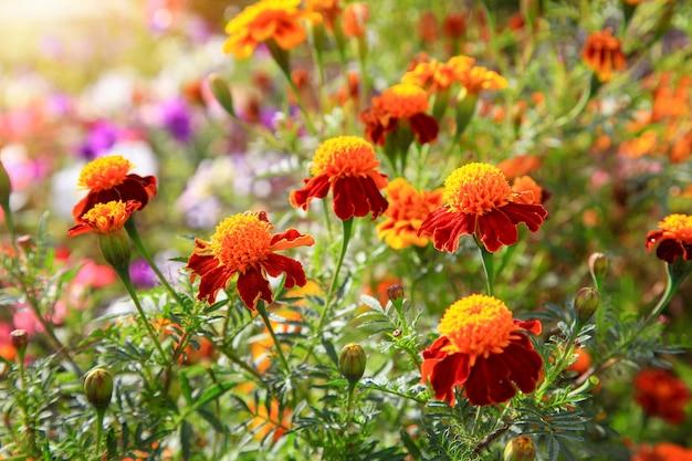 Nagietki to bezpretensjonalne rośliny kwiatowe, które są bardzo poszukiwane we współczesnym świecie.