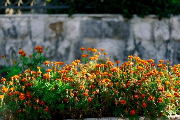 Nagietki w okresie kwitnienia na rabacie ogrodowym przy kamiennej ścianie.