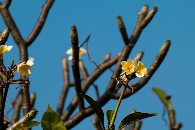 Najpiękniejsze kwiaty plumeria, żółte i białe kolory.