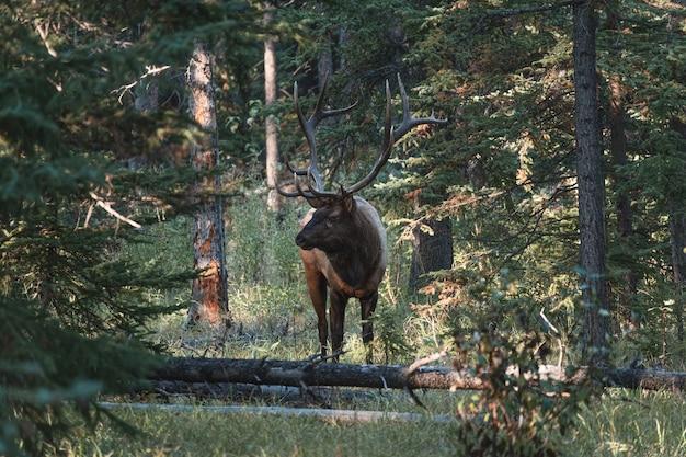 Największy samiec łosia z porożem stojący w głębokim lesie w parku narodowym jasper