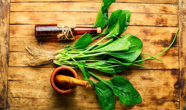 Nalewka z babki lancetowatej w szklanej butelce. mikstura lecznicza, ziołolecznictwo. liście babki liściastej