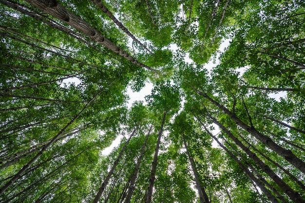 Namorzynowi lasy z zielonymi liśćmi w dzwoniącym prong pasku, rayong, tajlandia