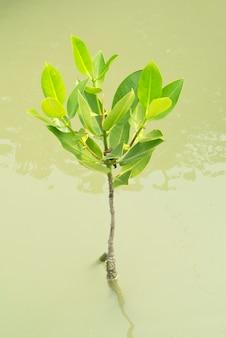 Namorzynowy drzewo, tajlandia