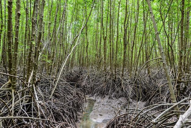 Namorzynowy las przy natury prezerwą i forestklaeng przy prasae, rayong prowincja, tajlandia